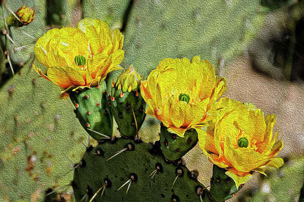 Prickly Pear Flowers Op42 Photograph