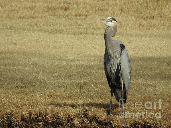 Ruth Housley - Proud Looking Heron