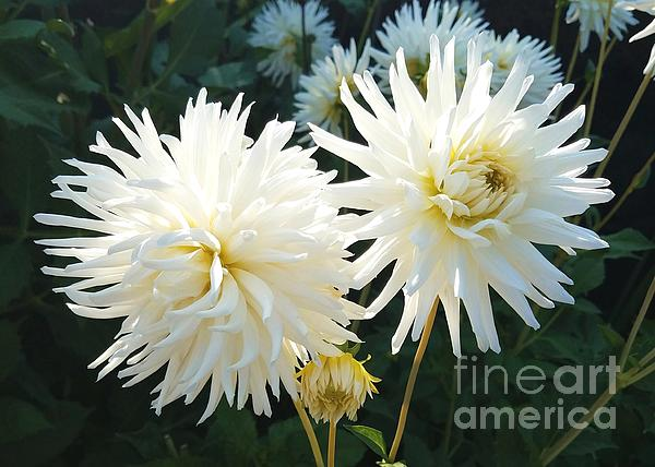 Jane Powell - Pure white dahlias