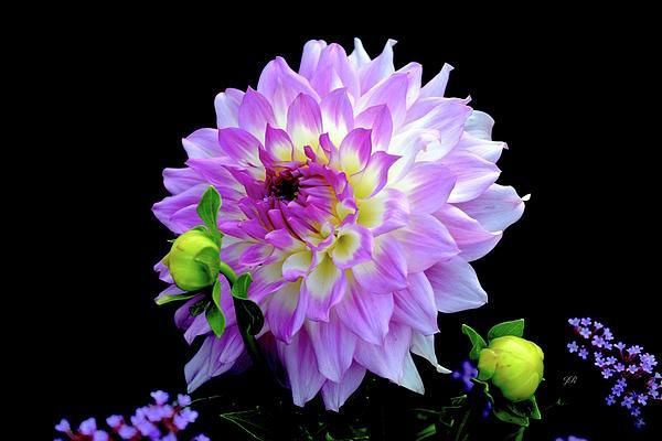 Jeannie Rhode - Purple Dahlia with Buds