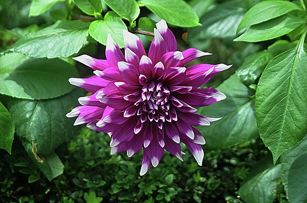 John Hughes - Purple Flower