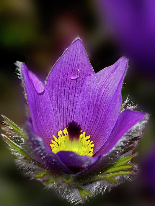 Inge Riis McDonald - Purple Pasqueflower