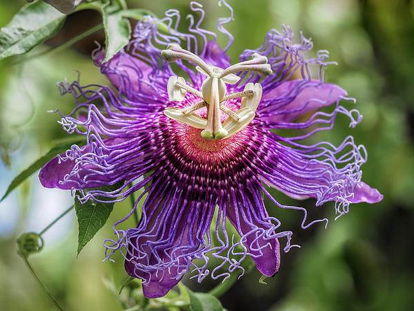 Robin Zygelman - Purple Passion