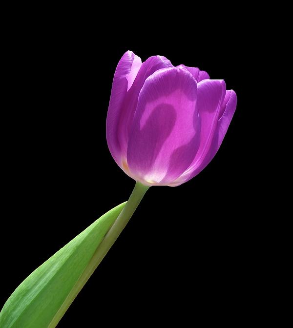 Johanna Hurmerinta - Purple Tulip 3