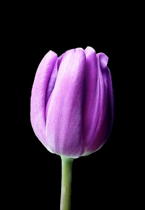 Johanna Hurmerinta - Purple Tulip