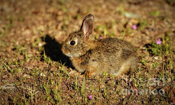Robert Bales - Pygmy Rabbit