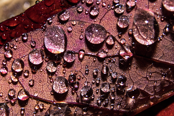Ira Marcus - Raindrops on Red Leaf
