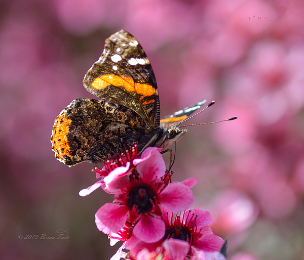 Brian Tada - Red Admiral Butterfly