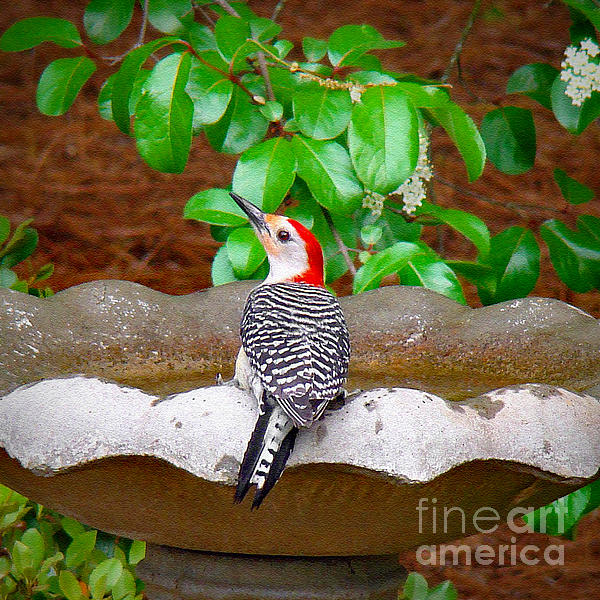 Sue Melvin - Red-Bellied Beauty