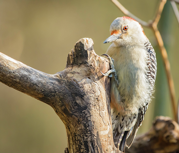 Bruce Pritchett - Red Bellied Woodpecker Img 7