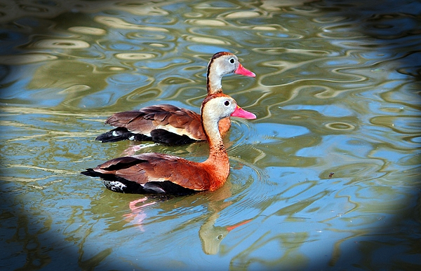 Cynthia Guinn - Red Billed Whistling Duck