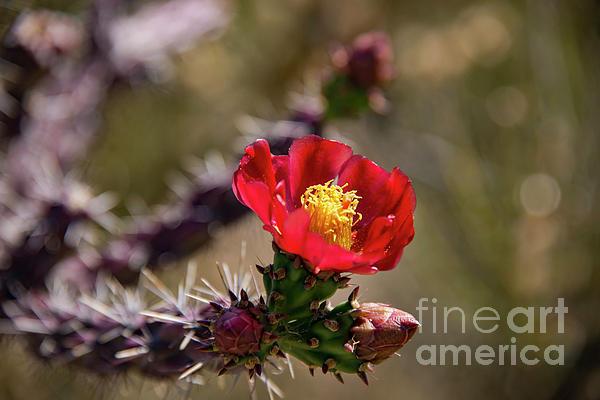 Bob Phillips - Red Cactus Bloom