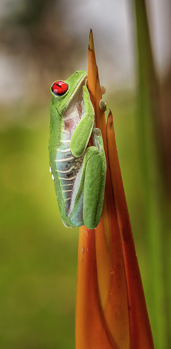 Joan Carroll - Red-Eyed Treefrog Costa Rica