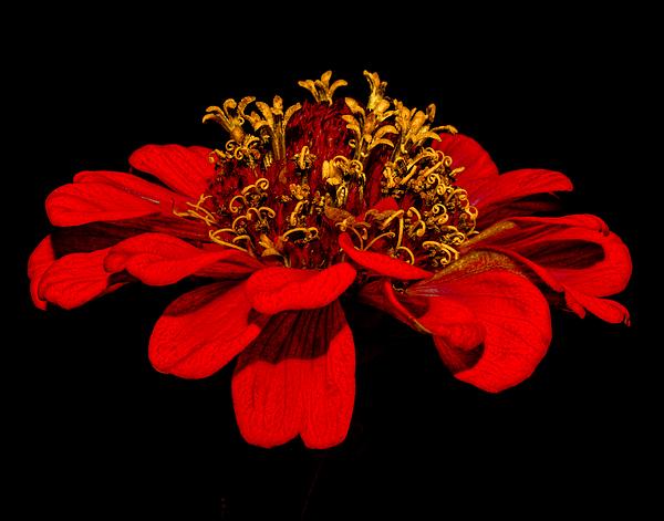 Lisa Manifold - Red Flower