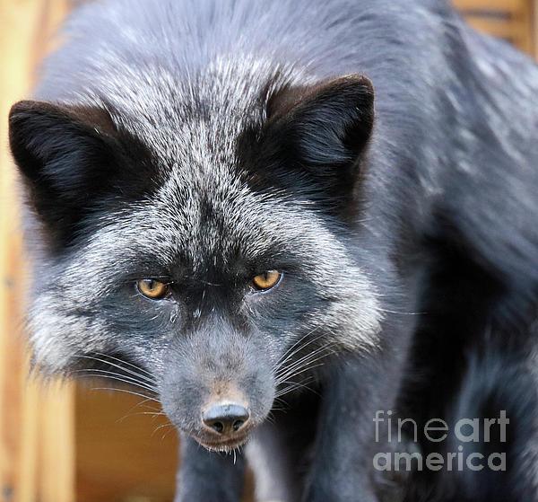 Steve Gass - Red Fox in black