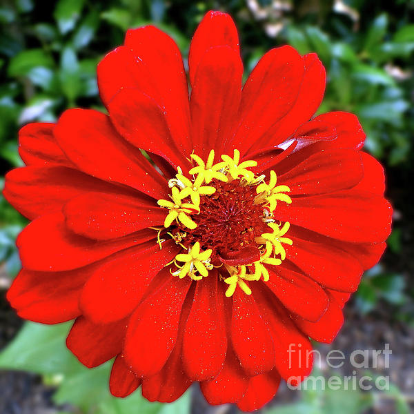 Sue Melvin - Red Hot Zinnia