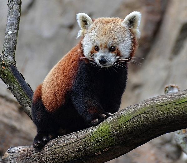 Ronda Ryan - Red Panda portrait