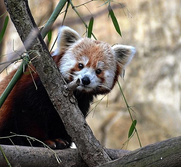 Ronda Ryan - Red Panda
