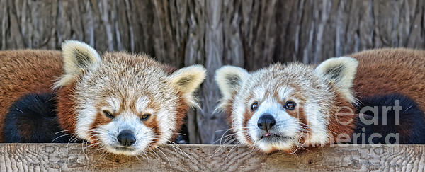 Jim Fitzpatrick - Red Pandas Hanging Out Together