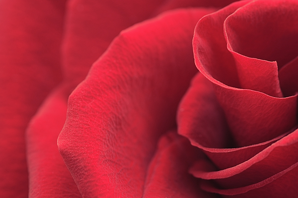 Irina Safonova - Red Rose Close-up
