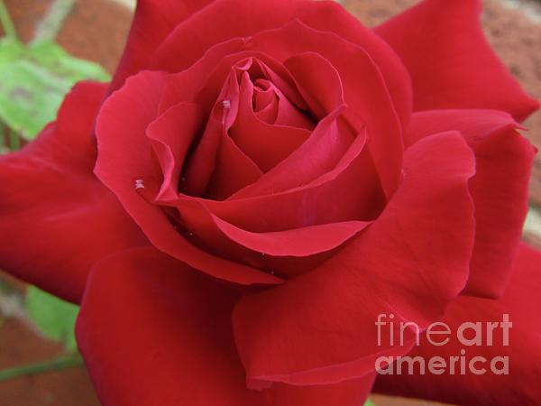Kim Tran - Red Rose