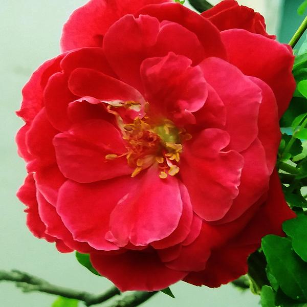 Nilu Mishra - Red Rose