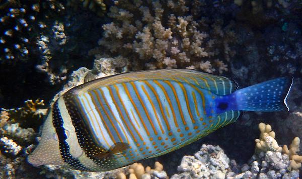 Johanna Hurmerinta - Red Sea Zebrasoma Closeup