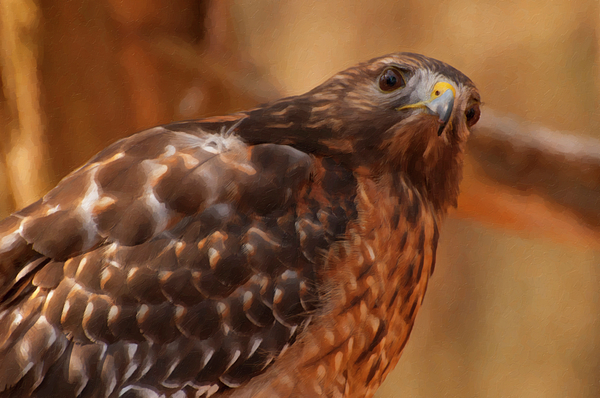 Chris Flees - Red Shouldered Hawk 1