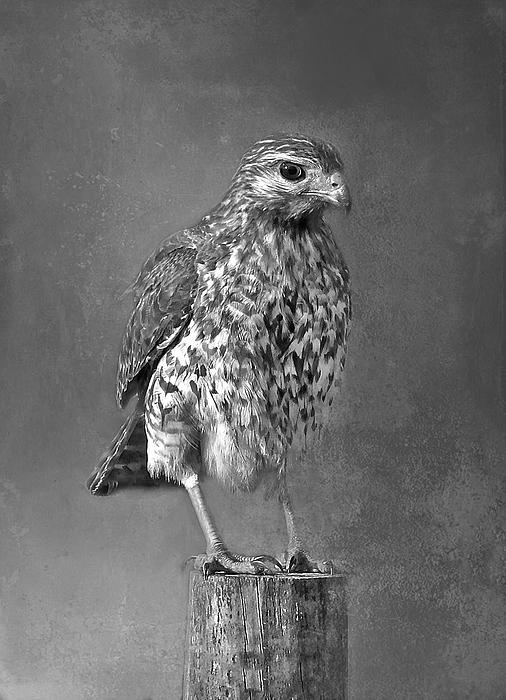 HH Photography of Florida - Red-shouldered Hawk Portrait BW