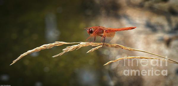 Mitch Shindelbower - Red Skimmer on Wild Wheat