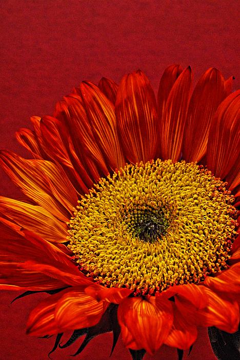 Saija  Lehtonen - Red Sunflower VIII