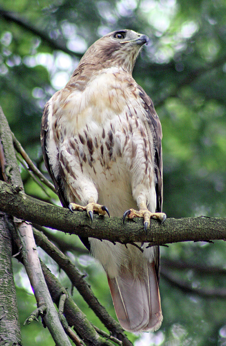 Andrea Moore - Red Tailed Hawk in tree