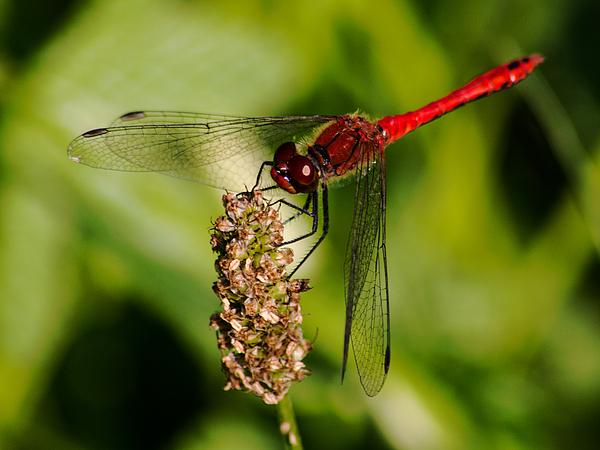 Colin Hunt - 10996 Red Veined Darter Dragonfly #03