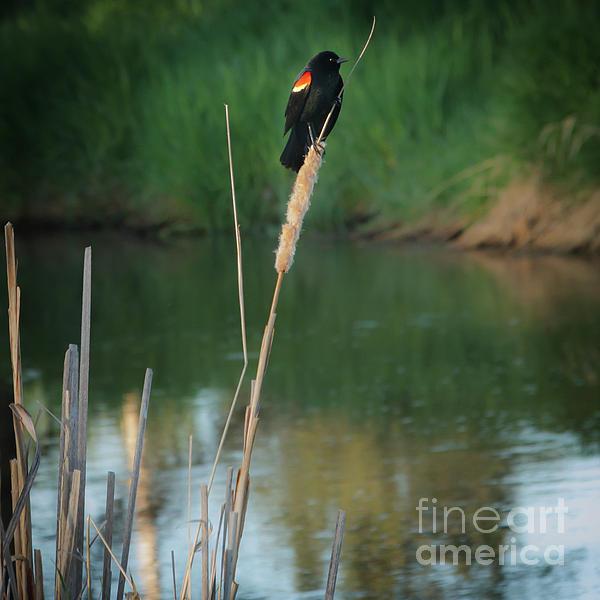 Robert Bales - Red Winged Blackbird