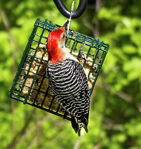 Lori Lynn Sadelack - Redheaded Woodpecker II
