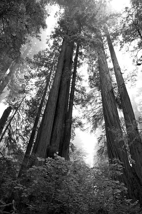 Loree Johnson - Redwoods in the Fog