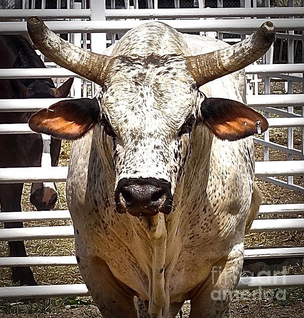 Elisabeth Derichs - Rodeo Bull