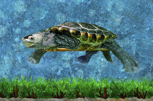Sandi OReilly - Rodney the Diamondback Terrapin Turtle