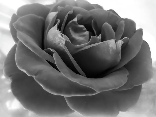 Zina Stromberg - Rose black and white