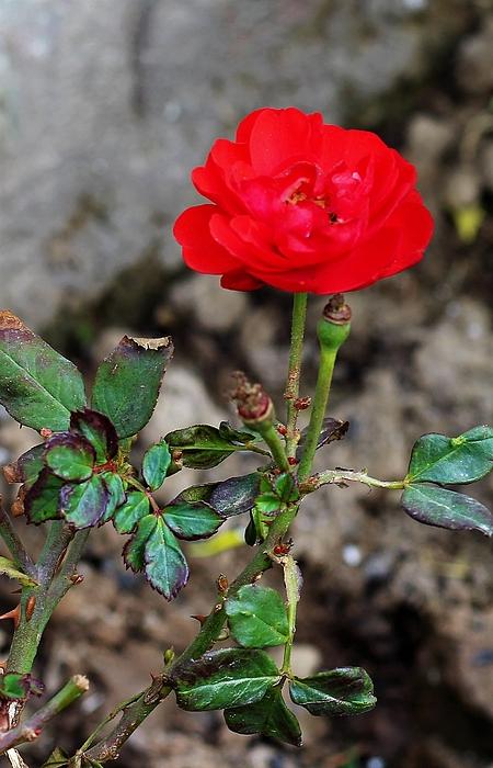 Khalid Saeed - Rose plant