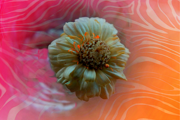 Nilu Mishra - Royal daisy