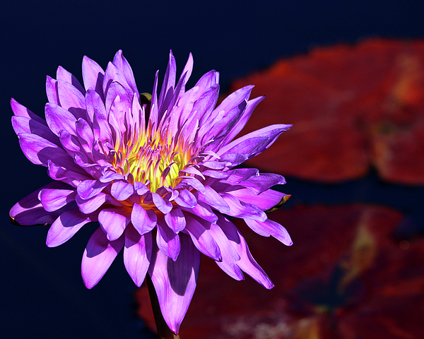 Judy Vincent - Royal Purple Water Lily