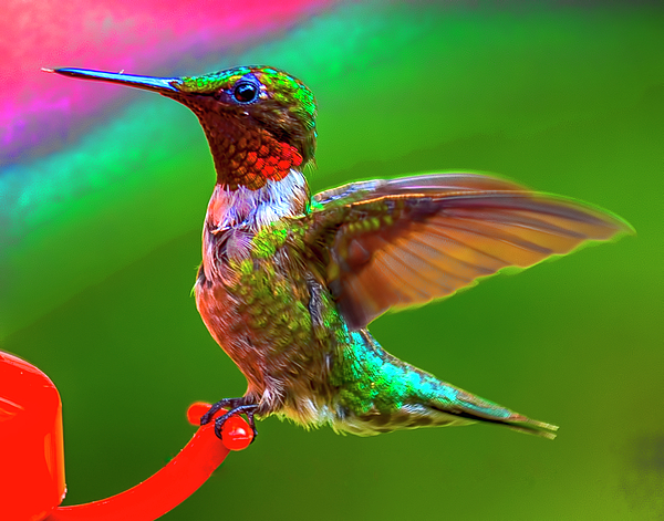 Barbara Molocznik - Ruby throated Hummingbird