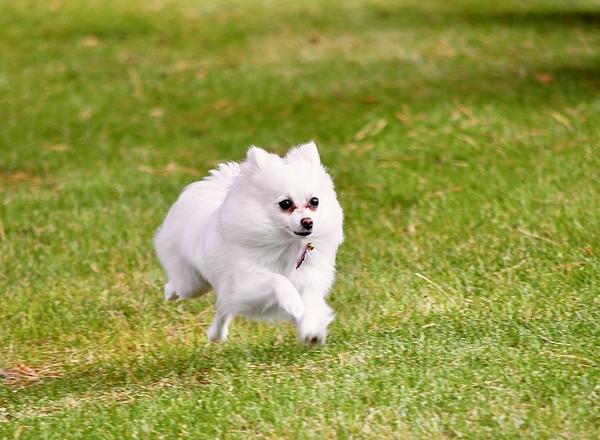 Richard Bryce and Family - Running Pomeranian