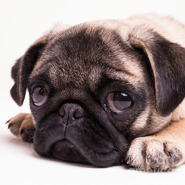Sad Pug Puppy Weekender Bag