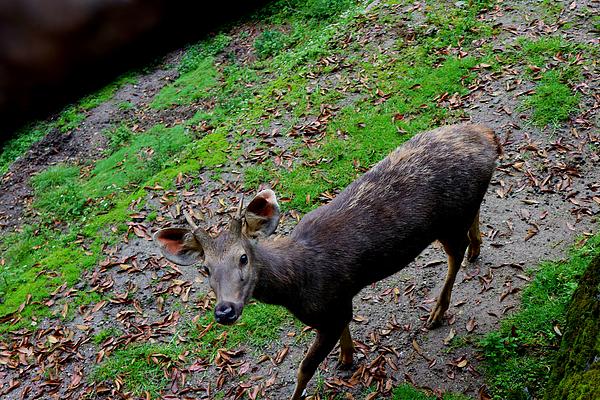 Nilu Mishra - Sambar Deer