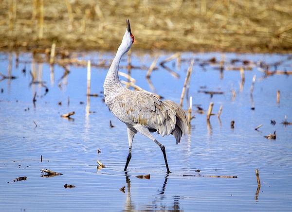 Lynn Hopwood - Sandhill crane crooning