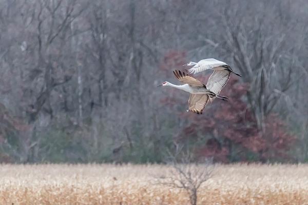 Patti Deters - Sandhill Cranes  in Flight over Corn Field