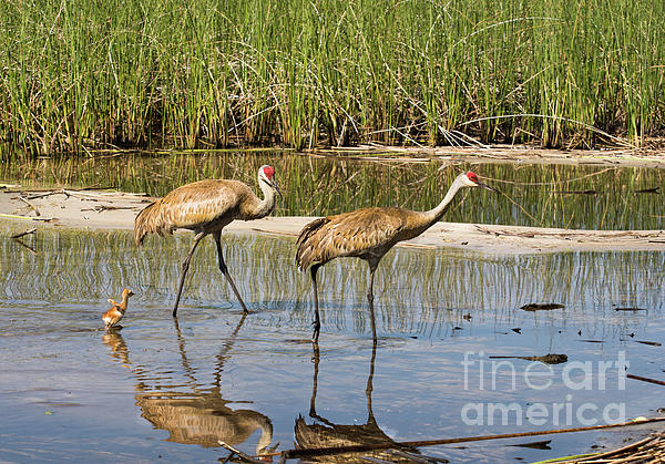 Zina Stromberg - Sandhill cranes walking in the lake