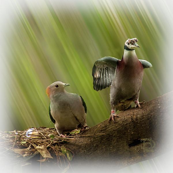 Daniel Hebard - Scraping Pigeons